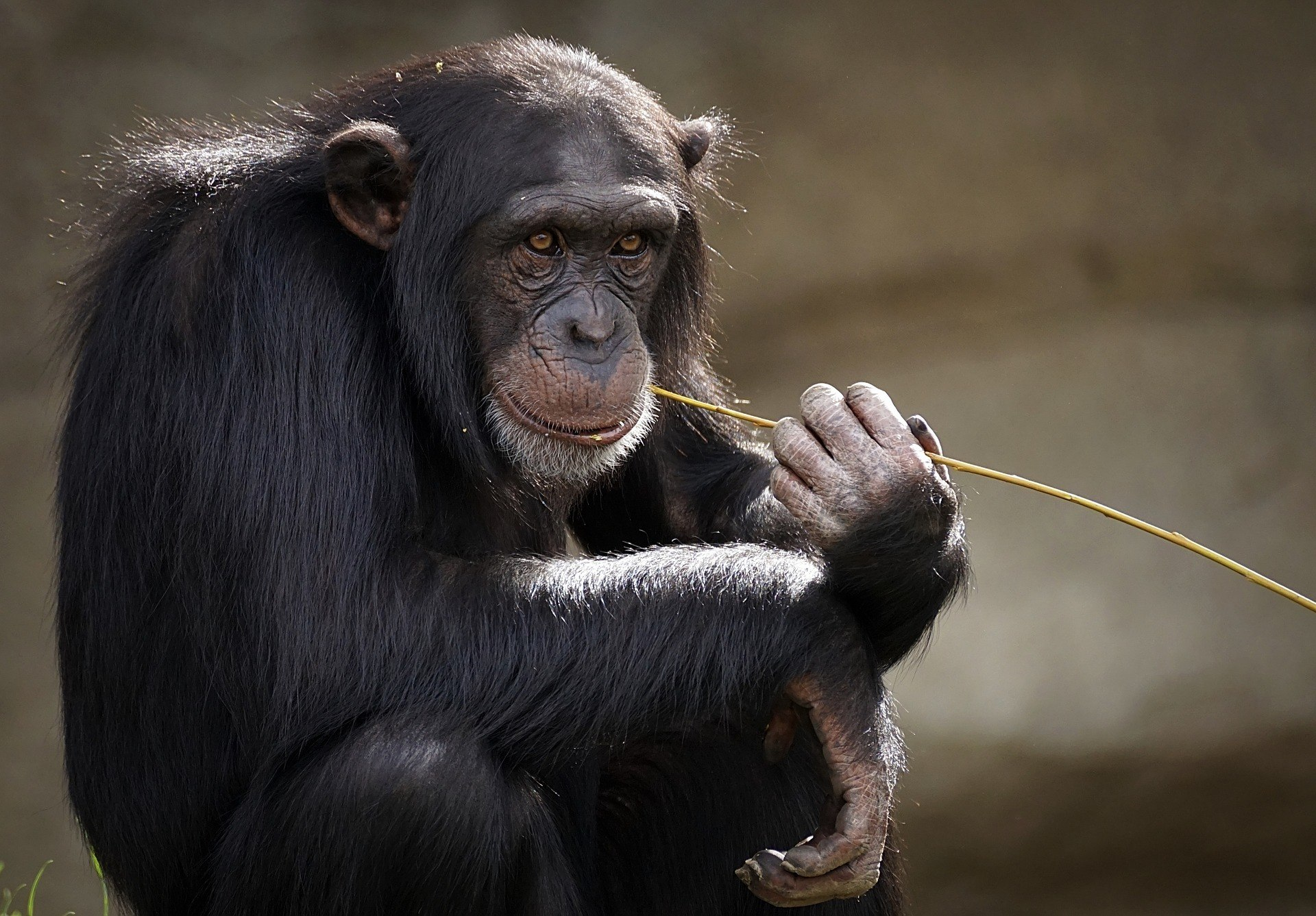 Numerous attempts have been made to teach chimpanzees to speak